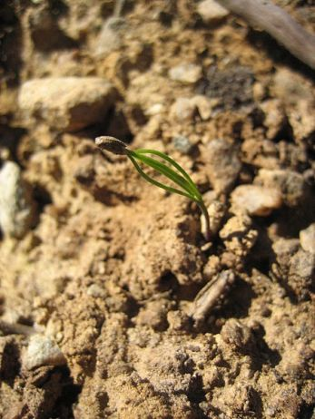 seedling Source wikimedia commons